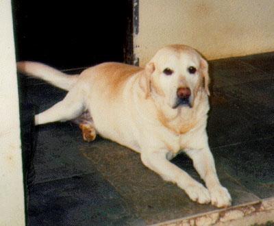 Este é o Hamlet. O seu nome de pedigree era - Dutchman, ele nasceu creio que em 26/1/96, canil Tokay e foi para o CÈU dia 28/12/05 Prop: John Gerald Toogood
